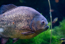 Red Bellied Piranha Close Up D...