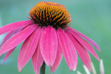Close Up Of A Pink Coneflower Against A Bluish Green Background