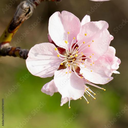 almond blossom Wallpaper Mural