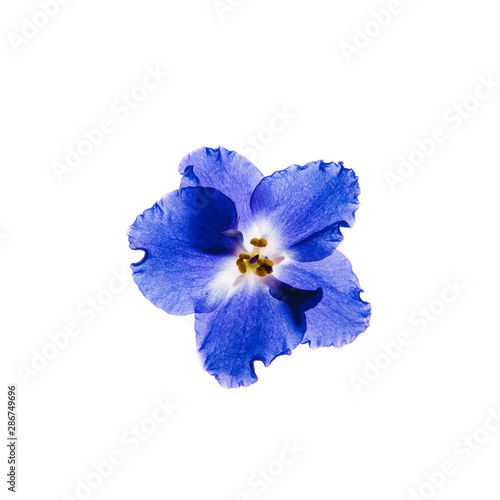 Blue violet flower isolated on white background. Bright flower top view. Spring, summer, autumn flora. Plant on color table concept
