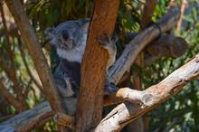 Adorable Koala Bear Scratches ...