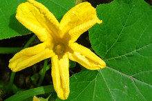 Yellow Pumpkin Flower On Green Leaves Background.