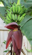 Banana Flower And Fruits