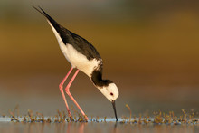 Black Winged Stilt Foraging In Shallow Water
