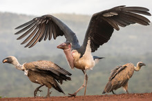 Marabou Stork With White Backe...