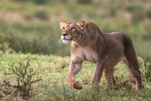 Lion Walking In Kgalagadi Transfrontier Park