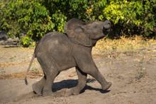 African Elephant Running In Chobe National Park