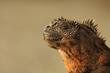Close Up Of Marine Iguana