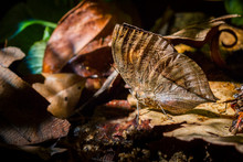 Close Up Of Indian Leafwing On Dried Leaf
