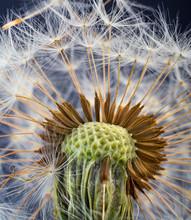 Close Up Of Common Dandelion