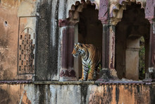 Bengal Tiger Standing In Old Building