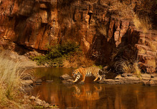 Bengal Tiger Walking On Rocks ...