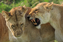 Close Up Of Lioness Greeting In Masai Mara Game Reserve