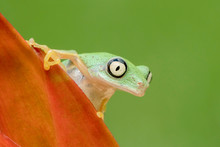 Curious Lemur Frog Looking Over Plant In Rainforest