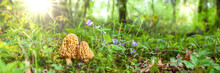 Morel Mushrooms In Beautiful F...