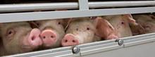 Pigs Transport. Piglets. Anima...