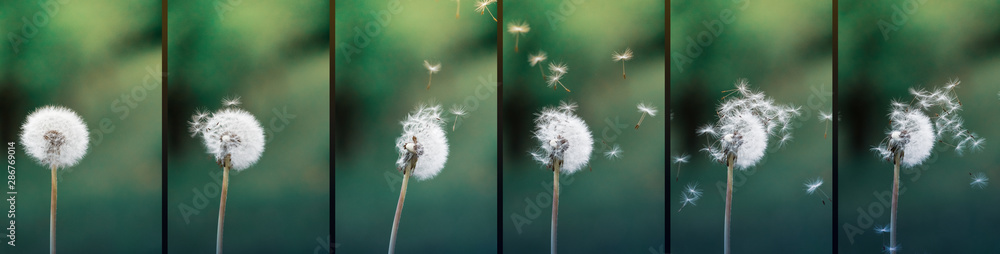 Fototapety, obrazy: Close up stripe view of a dandelion (Taraxacum) position during strong wind blowing. Seeds flying around. Flowers, green background.