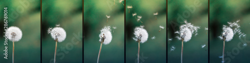 Close up stripe view of a dandelion (Taraxacum) position during strong wind blowing. Seeds flying around. Flowers, green background.