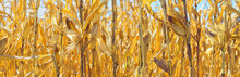 Panorama, Harvest Ripe Corn Close-up. Cob, Leaves, Stems Selective Focus. Bright, Sunny Day Outdoors. Design For Banner, Background, Wallpaper.