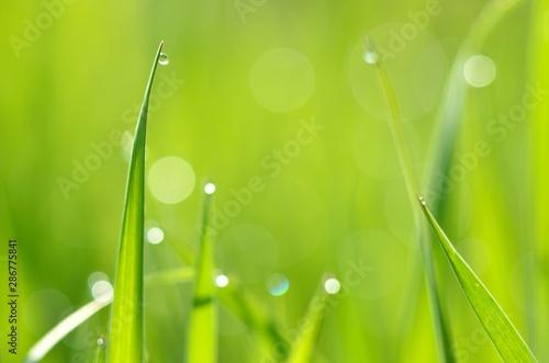 Fototapeta trawa   swieza-zielona-trawa-z-kropli-wody-z-bliska