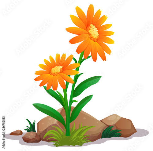 Tuinposter Kids Orange gerbera daisy flowers on white background