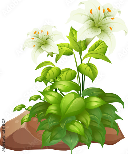 Tuinposter Kids Two white lily flowers on white background