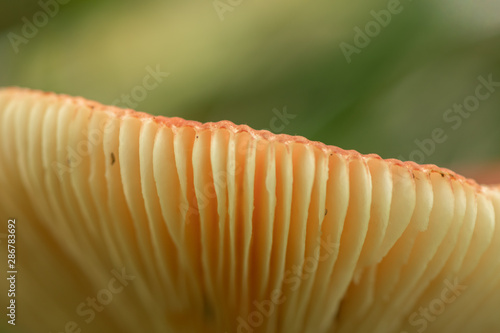 Underside of Orange Mushroom