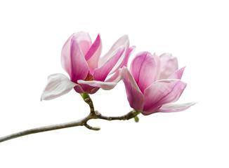Cvjetovi ružičaste magnolije izolirani na bijeloj pozadini