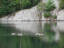 Four Canadian Geese Swimming On The Lake At Bear Mountain State Park In Upstate, NY.