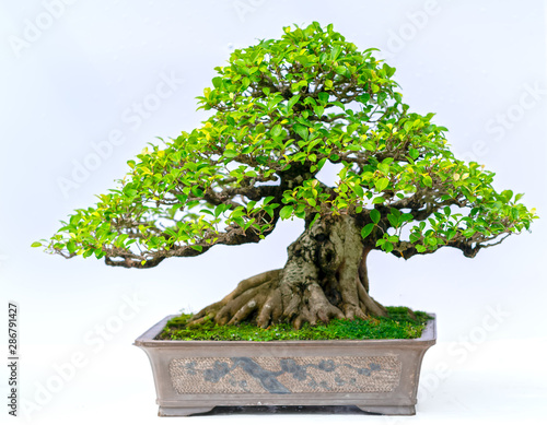 Recess Fitting Bonsai Green old bonsai tree isolated on white background in a pot plant create beautiful art in nature. All to say in human life must be strong rise, patience overcome all challenges to live good and usefu