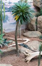 Iguana Under Palm Tree