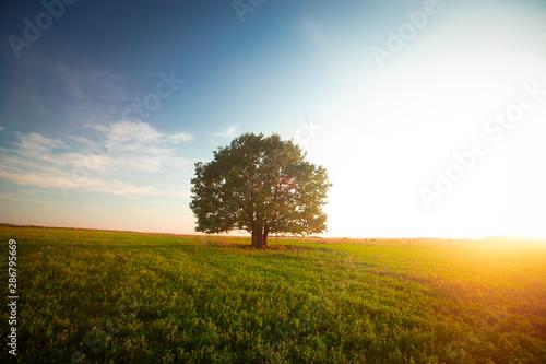 Fotografía Lonely green oak tree in the field