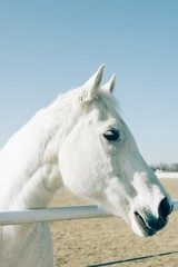 Vertical shot of a white beautiful horse standing closeup to a metal railing at a ranch