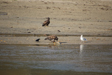 A Young Bald Eagle Standing On The Edge Of A Sandy Beach