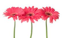 Beautiful Gerbera Flowers On White Background