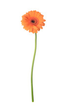 Beautiful Gerbera Flower On White Background