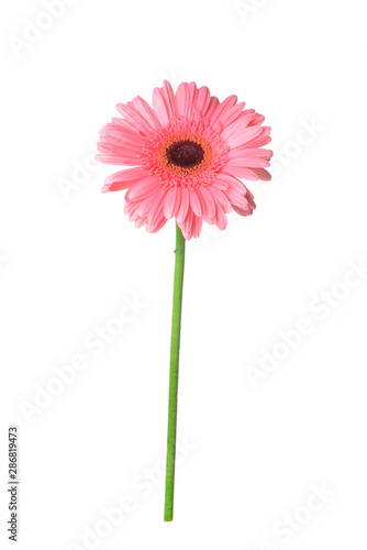 Foto auf AluDibond Gerbera Beautiful gerbera flower on white background