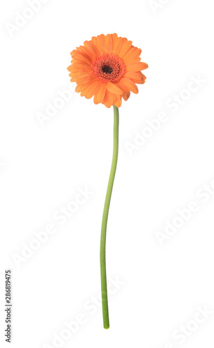 Obraz na plátně Beautiful gerbera flower on white background