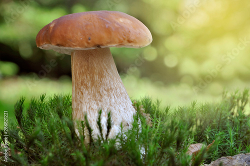 Photo  beautiful mushroom porcini growth in the moss in forest on colorful background