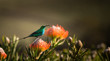 canvas print picture - Sugarbird Hummingbird sitting on the endemic fynbos Pincushion protea flower in the western cape, Cape Town, South Africa.