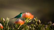 Sugarbird Hummingbird Sitting ...