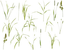 Stalks, Leaves And Inflorescences Of Various Meadow Grass At Various Angles On White Background