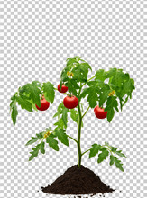 Tomato Plant With Soil Isolate...