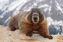 Yellow-bellied Marmot (Marmota Flaviventris) Cute Furry Rodent In American Rockies