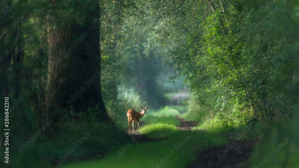 Fototapety, obrazy: Alert roe deer on a summer forest trail.