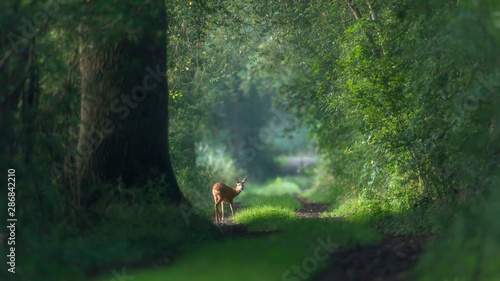 Alert roe deer on a summer forest trail.