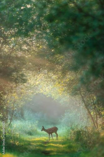 Obraz na plátně Roe deer doe on misty forest trail at dawn.
