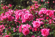 Blooming Pink Rose Garden On Sunny Day Background.