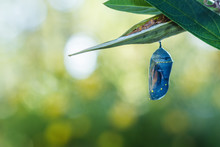 Monarch Chrysalis, Danaus Plex...