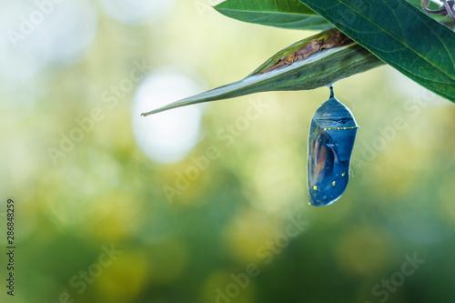 Foto Monarch Chrysalis, Danaus Plexppus, on milkweed with soft jewel tones background